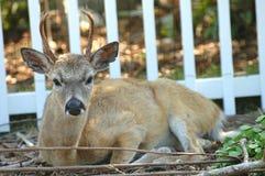 Key Deer Buck Stock Photos