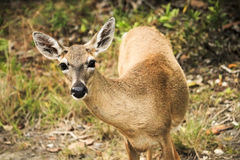 Key Deer Stock Image