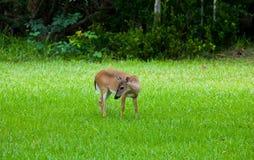 Key Deer Doe in Big Pine Key Florida Keys. A tiny Key Deer Doe in a green field on Big Pine Key in Florida stock photo