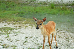Key deer fawn Stock Image