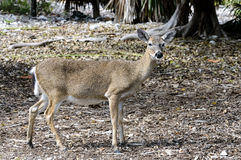 Key deer, odocoileus virginianus clavium Stock Photography