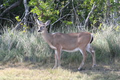 Key Deer Odocoileus virginianus clavium. A group of Key Deer Odocoileus virginianus clavium Stock Photo