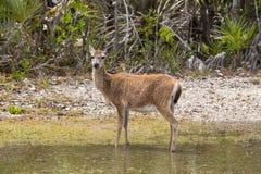 Key Deer Portrait Stock Photos