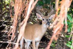 Key Deer With Shorteaf Fig. An endangered Key deer, the smallest of the whitetail family, grazes for berries under a shortleaf fig tree, a close cousin to the Stock Photography