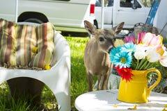 Key Deer Smelling Flowers Royalty Free Stock Photo