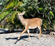 Key Deer Walking Royalty Free Stock Image