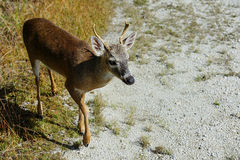Key deer Royalty Free Stock Photos