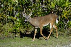 Key deer Stock Images