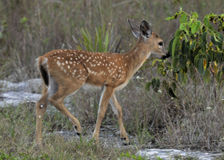 Key Fawn Royalty Free Stock Images