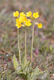 Key flower, primula veris Stock Images