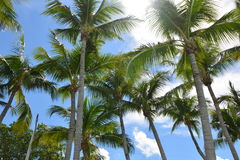 Key Largo Florida Palms Stock Photography