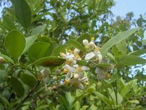 Key Lime Tree Branch In Bloom. In bloom is a leafy branch of key lime tree from the Rutaceae family of the aurantifolia specie. The blossoms are white petals stock photo