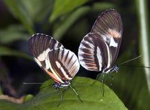 key piano för butterflys Fotografering för Bildbyråer