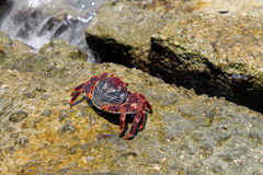 Key West crab Stock Images