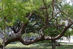 Key West estaciona a árvore Foto de Stock