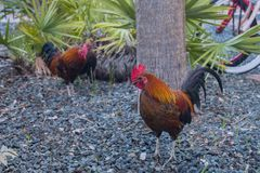 Key West Feral Chickens. Early morning before sunrise, with focus on the rooster at front Royalty Free Stock Photo