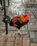 Key West-Huhn lizenzfreie stockfotografie