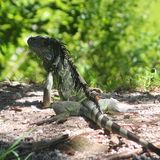 Key West Iguana Royalty Free Stock Images