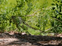 Key West Iguana (2) Stock Images