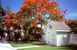Key West Jacajandra Tree Royalty Free Stock Photos