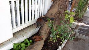 Key West kurczaki zdjęcie stock