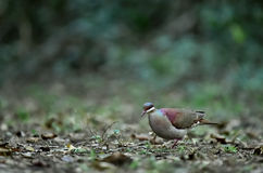 Key West Quail-dove (Geotrygon chrysia) adult Stock Image