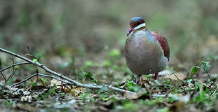 Key West Quail-dove (Geotrygon chrysia) adult Stock Images