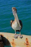 Key west's Pelican. Wait to cach the fish Stock Photos