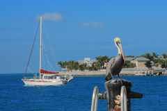 Key west's Pelican. Wait to cach the fish Royalty Free Stock Photo