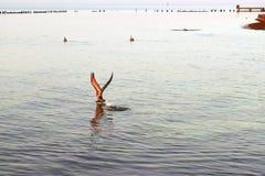 Key West Seagull Fotografia Stock