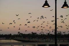 Key West Seagull przy Jutrzenkowym wschodem słońca, Floryda Zdjęcie Stock