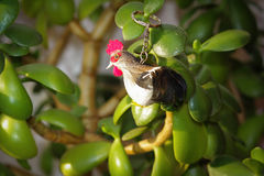 Keychain rooster on branches of house plants - money tree Royalty Free Stock Photography