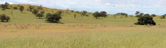 Kgalagadi animal panorama Royalty Free Stock Photos