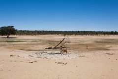 Kgalagadi Royalty Free Stock Images