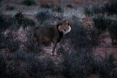 Kgalagadileeuw in donkere ochtend, Botswana Leeuw met zwarte manen, groot dier in de habitat Gezichtsportret van Afrikaanse gevaa stock foto's