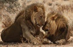 Kgaligadi的6二个狮子兄弟 免版税图库摄影