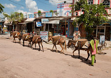 KHAJURAHO, LA INDIA - 29 DE SEPTIEMBRE: burros usados para transportar mercancías pesadas Imagen de archivo libre de regalías
