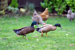 Khaki campbell ducks in a back garden Stock Photos