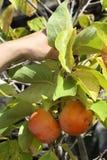 Khaki Fruit Royalty Free Stock Image