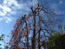 Khaki tree, with fruits. Winter with blue sky i a persimmon tree with its tasty fruits stock image