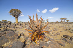 Khamiesensis dell'aloe, in Namibia Fotografia Stock Libera da Diritti