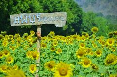 Khao Jeen Lae Sunflower field stock image