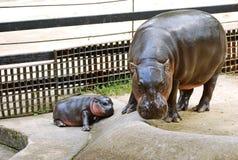 PYGMY HIPPO Stock Photos