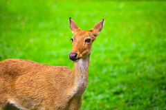 Khao Kheow Open Zoo, Eld's deer Royalty Free Stock Images