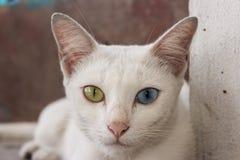 猫khao manee 免版税库存照片