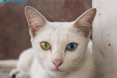 Khao Manee cat Royalty Free Stock Photo