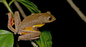 Khao Yai Treefrog, όμορφος βάτραχος, βάτραχος δέντρων στον κλάδο Στοκ Εικόνες