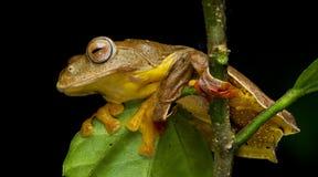 Khao Yai Treefrog, красивая лягушка, древесная лягушка на ветви Стоковая Фотография