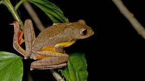 Khao Yai Treefrog, красивая лягушка, древесная лягушка на ветви Стоковое Фото