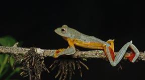 Khao Yai Treefrog & x28; Sp Rhacophorus & x29; , Красивая лягушка, древесная лягушка, древесная лягушка на ветви Стоковое фото RF